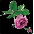 rosa_damascena